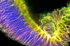 Salamander Neuronal Fibers
