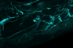 Sensory Neuron Innervation of the Mouse Tongue