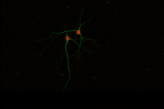 Neurons in sync - lets do the tango