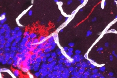 Neural stem cell and blood vessels in the dentate gyrus of the hippocampus