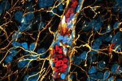 The blood–brain barrier in the primate brain