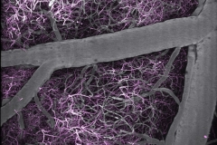 Live imaging of neural networks and brain vasculature