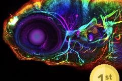 Developing nervous system of the larval zebrafish