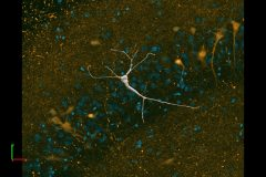 CA3 Hippocampal Pyramidal Neuron
