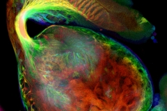 Connections between eye imaginal disc and brain of Drosophila larva