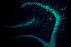 Fluorescent NeuN Stain in Hippocampus