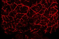 Neurovascular network