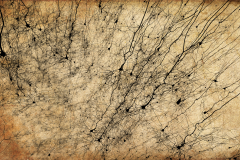 Golgi style rendering of digitally reconstructed neurons