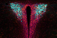 GLP-1 and and AgRP inputs onto CRH neurons in the hypothalamus